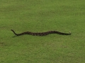 Timber rattler on golf course